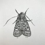 annabel carington; dot moth; 20x15cm; pencil