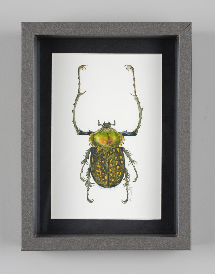 long-armed chafer beetle (framed). 30.5.18 4