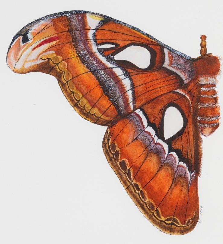 Atlas Moth diptych (1) by Annabel Carington
